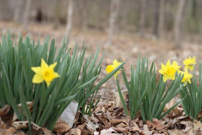 Daffodils in Park Woods
