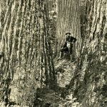 This picture, taken in the mid- to late 19th century, gives an idea of just how large and profuse the American chestnut tree was in Eastern U.S. forests. There are now only 100 or so that remain. (Courtesy photo American Chestnut Foundation)